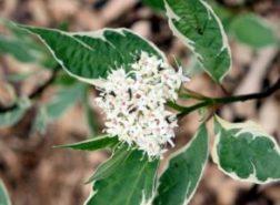 Редкое растение- дерен