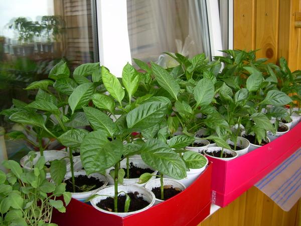 Как вырастить хорошую рассаду перца
