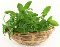 Растение стевия-медовая трава